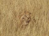 Lion (Panthera Leo) Young Male Camouflaged in Tall Grass  Masai Mara  Kenya