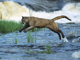 Mountain Lion (Felis Concolor) Leaping across Stream  North America