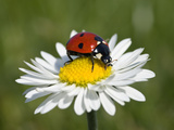 Seven-Spotted Ladybird (Coccinella Septempunctata) on Common Daisy (Bellis Perennis)