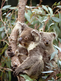 Koala (Phascolarctos Cinereus) Mother with Joey and Orphan  Eastern Forested Australia