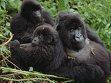Mountain Gorillas (Gorilla Gorilla Beringei) Female  Virunga Mountains