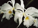 Orchid  Close-Up of White Flowers Wet with Rain  Atlantic Forest  Brazil
