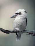 Laughing Kookaburra (Dacelo Novaeguineae) Perching on Branch  Australia