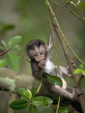 Long-Tailed or Crab-Eating Macaque (Macaca Fascicularis) Baby in Tree, Malaysia Papier Photo par Cyril Ruoso
