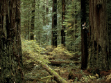 Man Climbing a Giant Redwood Tree
