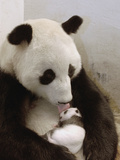 Giant Panda (Ailuropoda Melanoleuca) with Cub  Wolong Nature Reserve  China