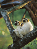 Sifaka (Propithecus Sp) Family Resting in Tree  Threatened  Berenty Reserve  Madagascar
