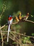 Madagascar Paradise Flycatcher (Terpsiphone Mutata) Male Rufous Morph Feeding Fledglings
