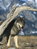 Timber Wolf (Canis Lupus) in Winter