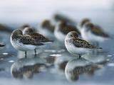 Western Sandpiper (Calidris Mauri) Flock Resting on Mudflats  Copper River Delta  Alaska