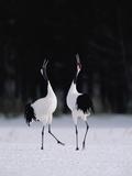 Red-Crowned Crane (Grus Japonensis) Couple in Courtship Display  Hokkaido  Japan