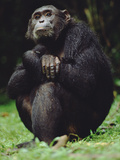 Chimpanzee (Pan Troglodytes)  Gombe Stream National Park  Tanzania