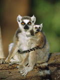 Ring-Tailed Lemur (Lemur Catta) Mother with Young on Back  Vulnerable  Madagascar