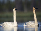 Trumpeter Swan (Cygnus Buccinator) Mother and Father with Single Chick