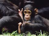 Chimpanzee (Pan Troglodytes) Mom and Baby  Gombe Stream National Park  Tanzania