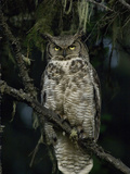 Great Horned Owl (Bubo Virginianus)  Alaska