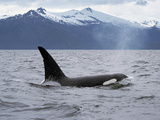 Killer Whale (Orcinus Orca) Surfacing Beneath Mountain Range  Inside Passage  Alaska