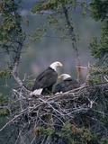 Bald Eagle (Haliaeetus Leucocephalus) Pair on Nest  Alaska