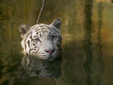 Melanistic or White Bengal Tiger (Panthera Tigris Tigris) Wading Through Water  Native to Asia