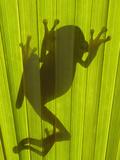Chachi Tree Frog (Hyla Picturata) Silhouette  Choco Rainforest  Ecuador