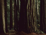 This Redwood Stand Is the Tallest Group in the World at over 350 Feet