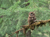 Northern Spotted Owl (Strix Occidentalis Caphus) Perching on Branch in Forest