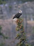 Bald Eagle (Haliaeetus Leucocephalus) Calling from Perch in Tree Top  Alaska
