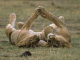 African Lion (Panthera Leo) Two Cubs Playing  Serengeti National Park  Tanzania