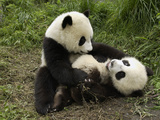 Giant Panda (Ailuropoda Melanoleuca) Two Cubs Playing  Wolong Nature Reserve  China