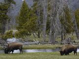 American Bison (Bison Bison) Pair Grazing  Yellowstone National Park  Wyoming