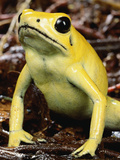 Golden Poison Dart Frog (Phyllobates Terribilis)  the Most Poisonous of the Dart Frogs