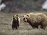 Alaskan Brown Bear or Grizzly Bear (Ursus Arctos)  Yearling Feeding on Grass  Denali  Alaska