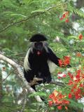 Angolan Colobus or Angolan Black and White Colobus (Colobus Angolensis)  Kenya