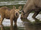 Moose (Alces Americanus) Mother and Calf  Chena River  Alaska