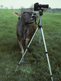 A Curious Brown Swiss Cow Investigates a Camera on a Tripod