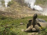 Volcan Alcedo Giant Tortoise (Geochelone Nigra Vandenburghi) and Steam Vent  Galapagos