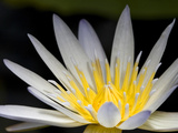 Close Up of a Water Lily Flower