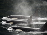 Three Killer Whales Swim in a Row at the Surface of the Water