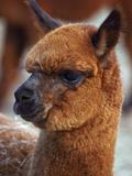 Close Up of an Alpaca  Lama Pacos