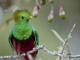Close Up of a Resplendent Quetzal  Pharomachrus Mocinno  in a Tree