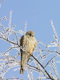 Eurasian Kestrel (Falco Tinnunculus) Female in Winter  Germany