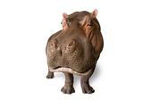 A Hippo  Hippopotamus Amphibius