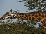 A Masai Giraffe Eating Tree Top Leaves