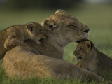 African Lioness  Panthera Leo  Resting with Cubs