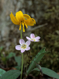 A Trout Lily Growing Beside Spring Beauty Flowers