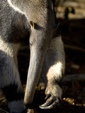Close Up of an Anteater