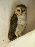 A Portrait of a Barn Owl  Tyto Alba  Roosting in a Building