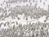 King Penguins and Chicks in a Spring Snow Storm at their Rookery