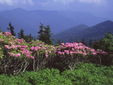 A Stand of Rhododendron in Bloom on Mount Mitchell