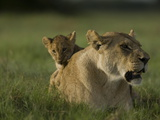 African Lioness  Panthera Leo  Resting with Cub